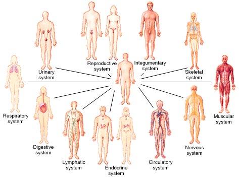 Diagram of Internal Organs | Tutorvista.com