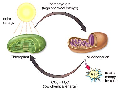 chloroplast and mitochondria relationship